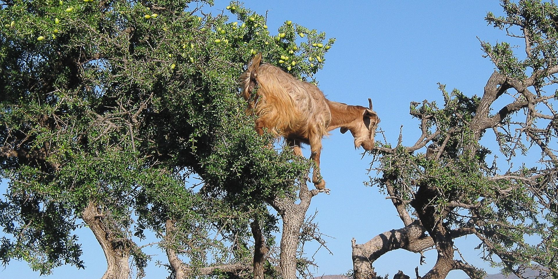 Goat Aid Morocco Style